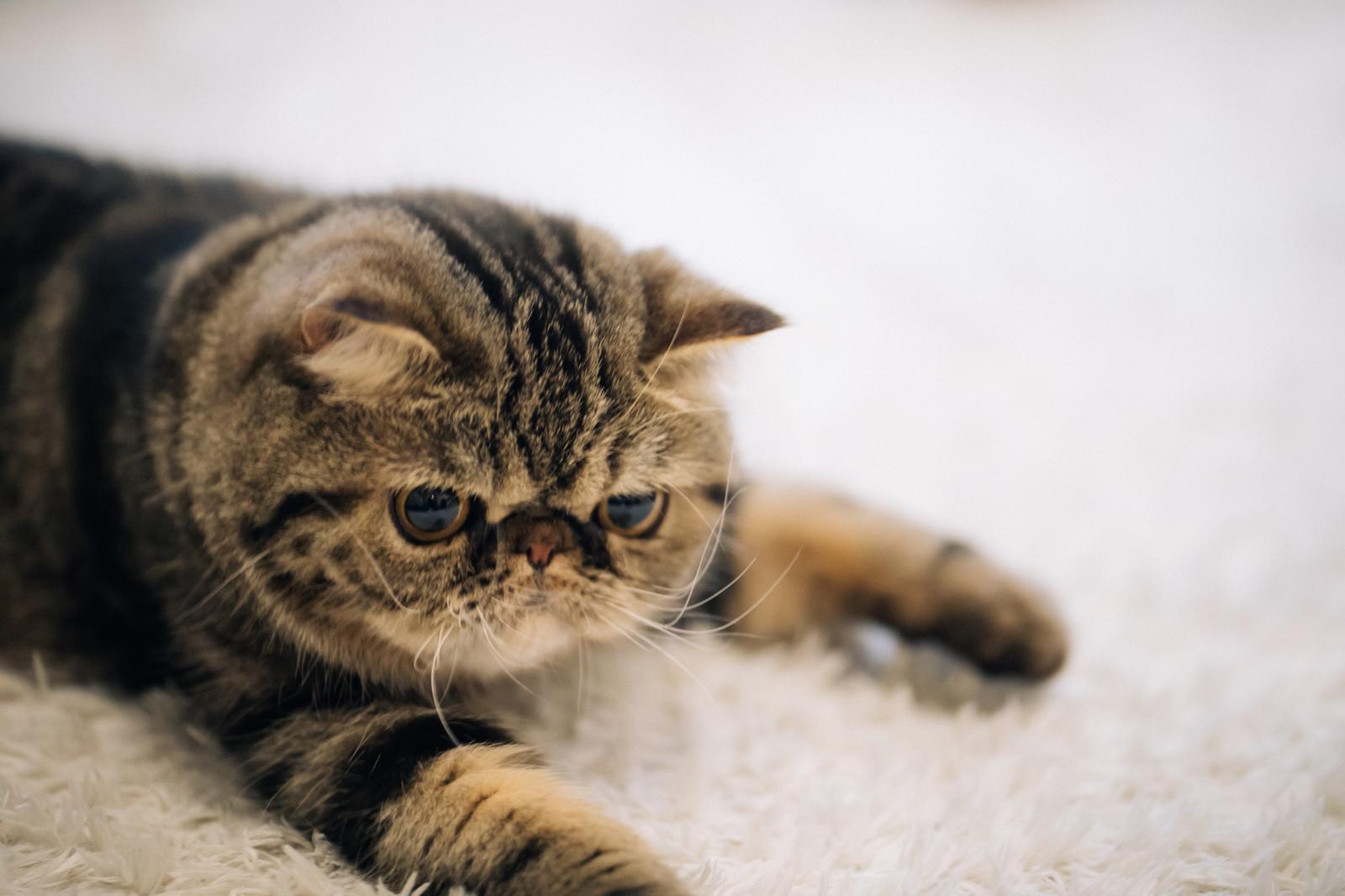 エキゾチックの猫