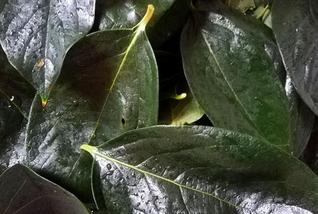 柿茶は健康長寿へのパスポート