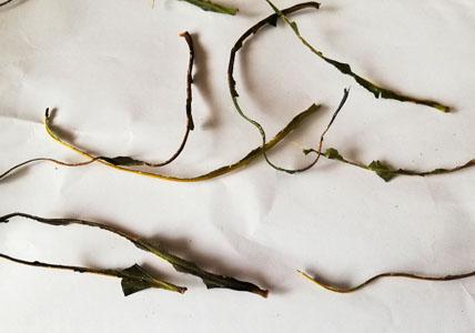 柿の葉の主脈