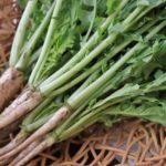 立石野菜スープ用の大根の葉は育てるのが良い